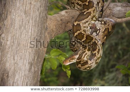 Indiai piton illusztráció kígyó trópusi Ázsia Stock fotó © bluering