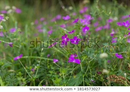 花 · クローズアップ · 美しい · バイオレット · 夏 · 赤 - ストックフォト © fotoyou