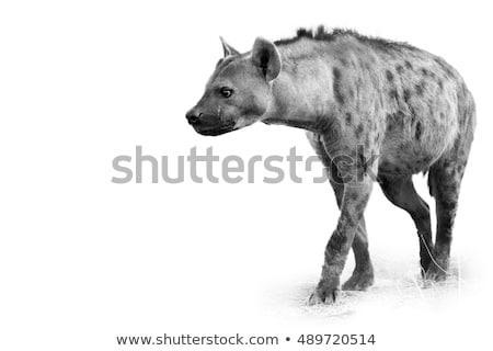 hiena · preto · e · branco · parque · África · do · Sul · animais - foto stock © simoneeman