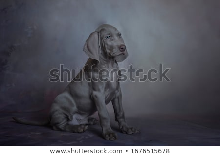 Stock photo: sweet Weimaraner portrait in a  photo studio