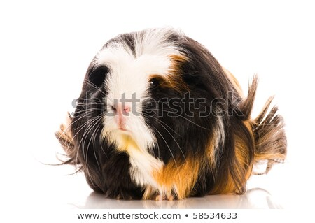baby guinea pig isolated on the white background. coronet Stock photo © joannawnuk