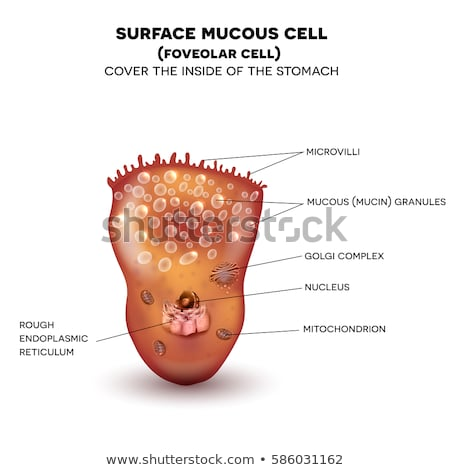Foveolar cell or surface mucous cell of the stomach wall Stock photo © Tefi
