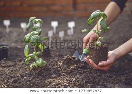 Bazsalikom palánták természet zöld levelek növény Stock fotó © Stocksnapper