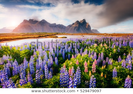 magical lupine flowers glowing by sunlight stock photo © leonidtit