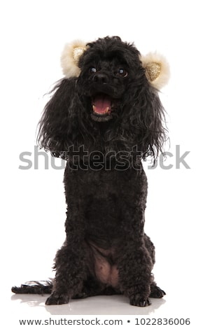 panting happy poodle wearing bear ears looks to side Stock photo © feedough