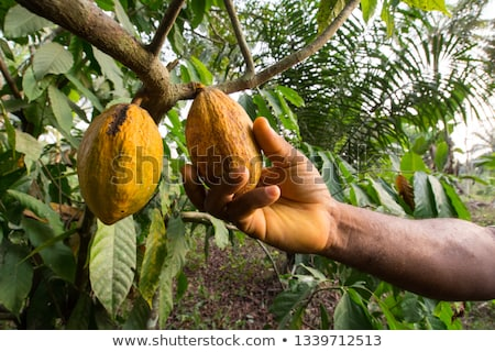 Harvest of cacao pods in natural farm plantation Stock photo © galitskaya