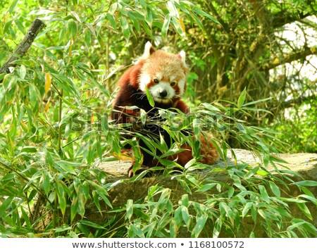 Aranyos piros panda fekszik eszik bambusz Stock fotó © Juhku