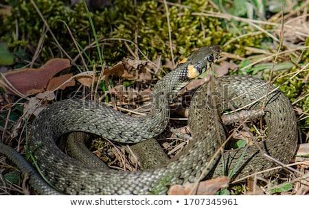 Foto stock: Belo · retrato · grama · serpente · fundo · pele