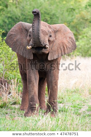 Young Elephant standing in the high grass. stock photo © simoneeman