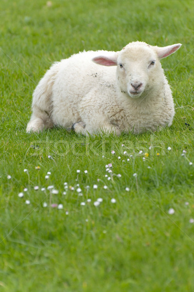 Irish sheep Stock photo © t3mujin