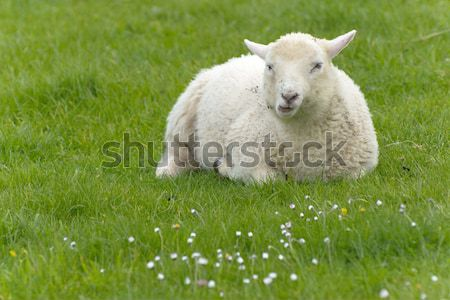 Irlandais moutons rural Irlande printemps ferme Photo stock © t3mujin
