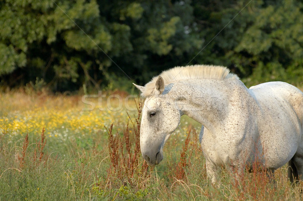 White stallion Stock photo © t3mujin