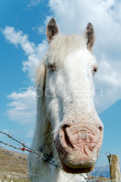 Fehér ló ír farm természet erős izolált Stock fotó © t3mujin