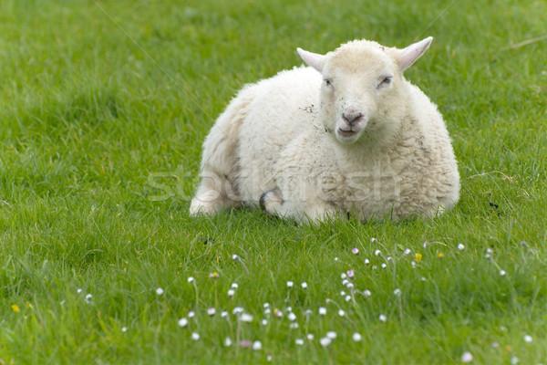 Stok fotoğraf: İrlandalı · koyun · kırsal · İrlanda · bahar · çiftlik