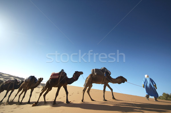 Camels Stock photo © t3mujin