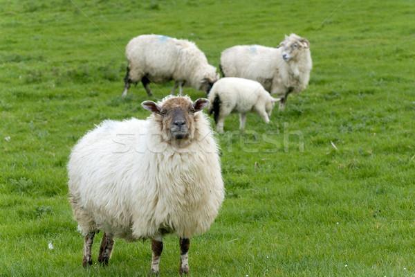 Irlandés ovejas rural Irlanda primavera granja Foto stock © t3mujin