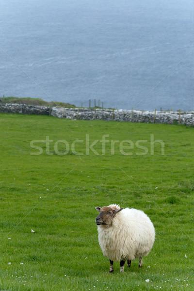 ír birka vidéki Írország tavasz farm Stock fotó © t3mujin