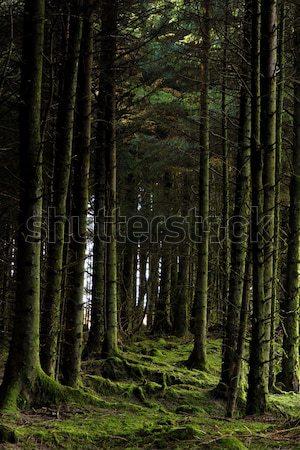 Mossy trees Stock photo © t3mujin