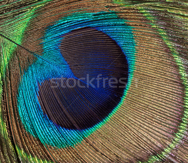 Peacock bird feather background  Stock photo © tab62