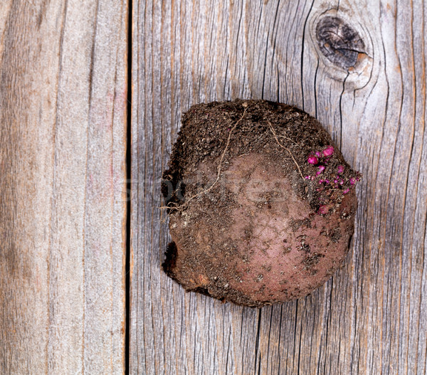 Soiled raw potato on rustic wooden boards Stock photo © tab62