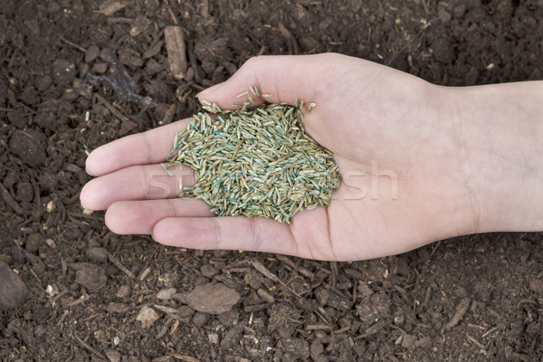 Planting New Grass Seed  Stock photo © tab62