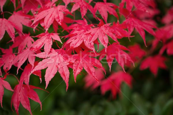 красный Осенний сезон горизонтальный фото Focus Сток-фото © tab62