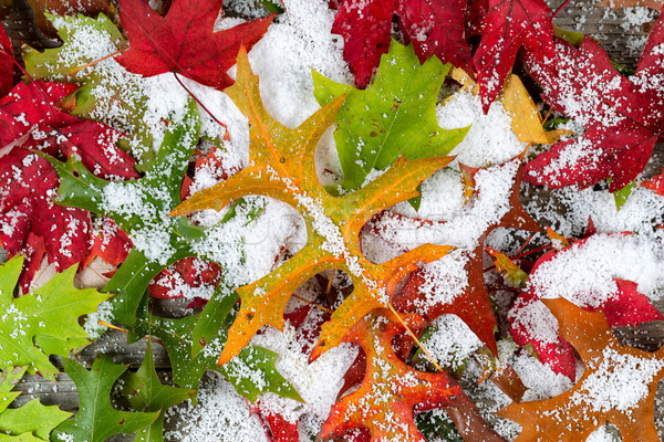 Fall Leaves and Snow  Stock photo © tab62