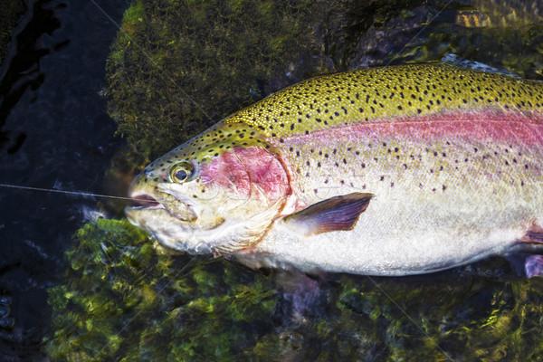 Vis groot regenboog forel ondiep water Stockfoto © tab62