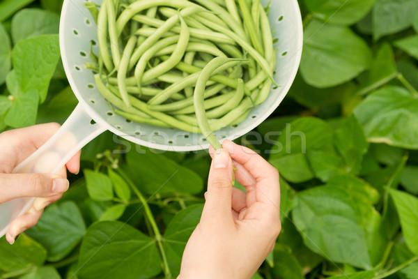 Stockfoto: Groene · bonen · oogst · tijd · horizontaal