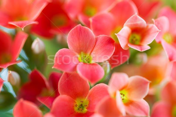 Primo piano centro rosso fiore shot poco profondo Foto d'archivio © tab62
