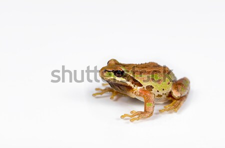 Green and brown frog on white background Stock photo © tab62