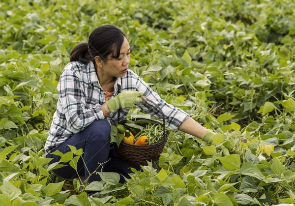érett nők kiválaszt bab mező tart Stock fotó © tab62