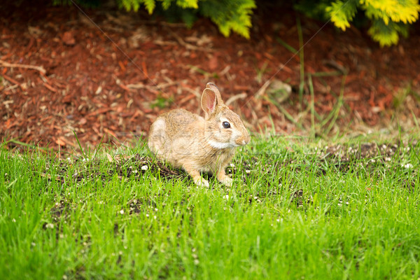 Wild Rabbit eating grass out of Yard  Stock photo © tab62