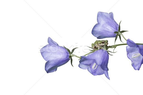 カエル 紫色 花 幹 ネイティブ ストックフォト © tab62