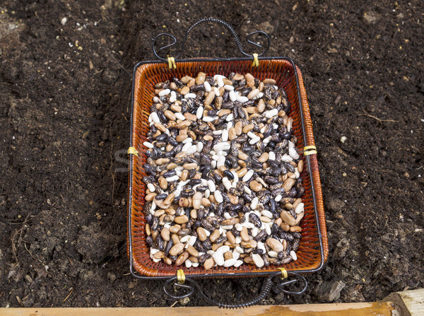 Green Bean Seeds ready to be Planted into Earth Soil  Stock photo © tab62