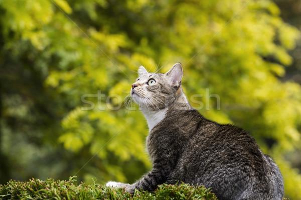 Hunting Grey Tabby Cat  Stock photo © tab62