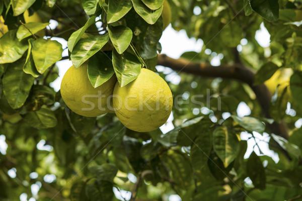 Chinese Grapefruit  Stock photo © tab62