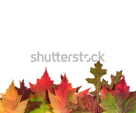 明るい 紅葉 孤立した 白 秋 オーク ストックフォト © tab62