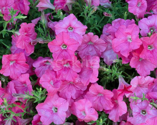 Vibrante rosa fiori completo fiorire mattina Foto d'archivio © tab62