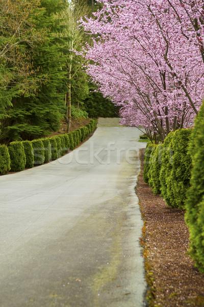 Cseresznye fák vonal felfelé út oldal Stock fotó © tab62