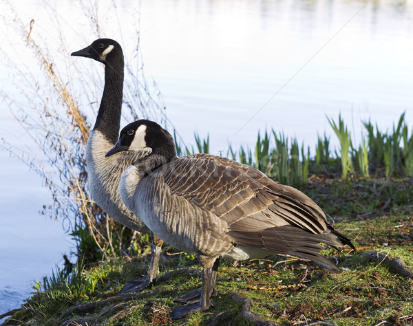 Canadian Geese Mates Stock photo © tab62