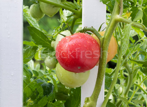 Homegrown tomatoes on white fence with rain drops on them  Stock photo © tab62