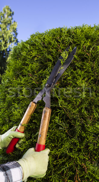 Hands Trimming the Hedges with Large Cutting Shears  Stock photo © tab62