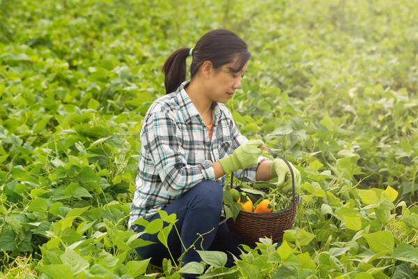 Woman picking healthy vegetables during bright day in field   Stock photo © tab62