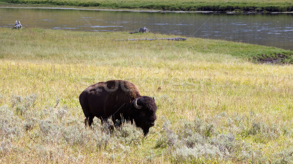 North American Buffalo Grazing in Field with river in background Stock photo © tab62