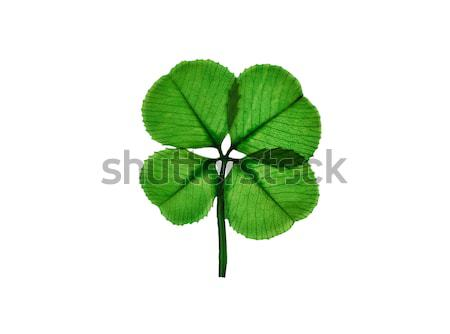 Real Four Leaf Clover on white background  Stock photo © tab62