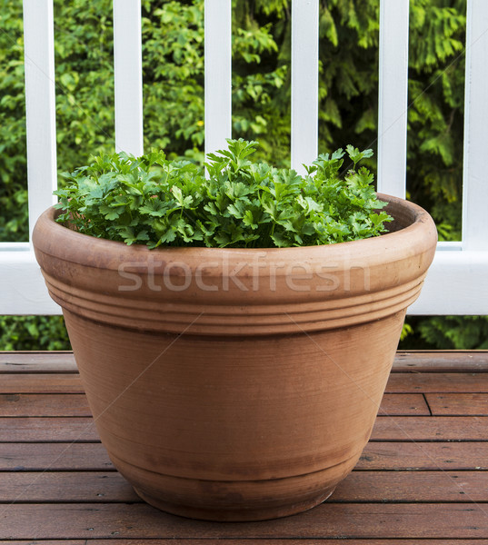 Summer Parsley on Deck  Stock photo © tab62