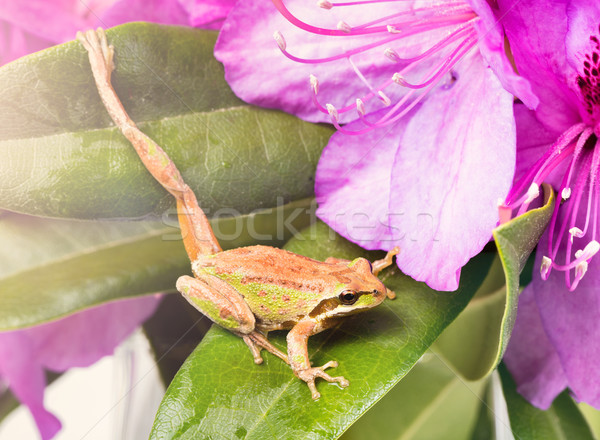 Little frog stretching leg while inside of wild flowers during b Stock photo © tab62