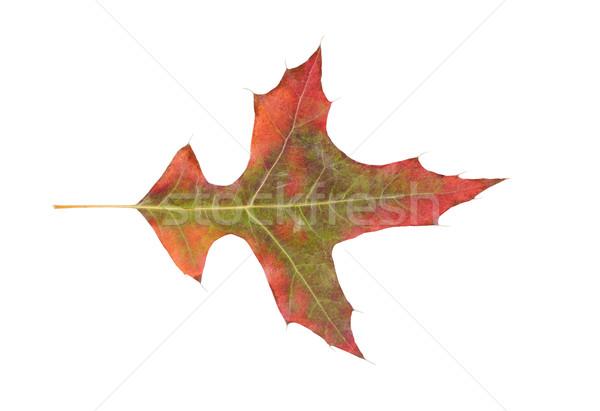 fading autumn leaf on white background  Stock photo © tab62