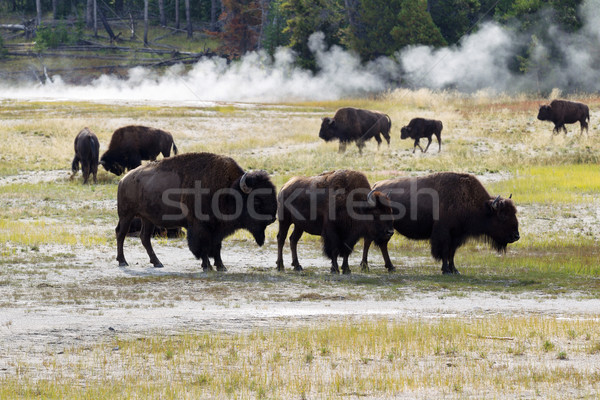 Family of North American Buffalo near the hot springs in Yellows Stock photo © tab62